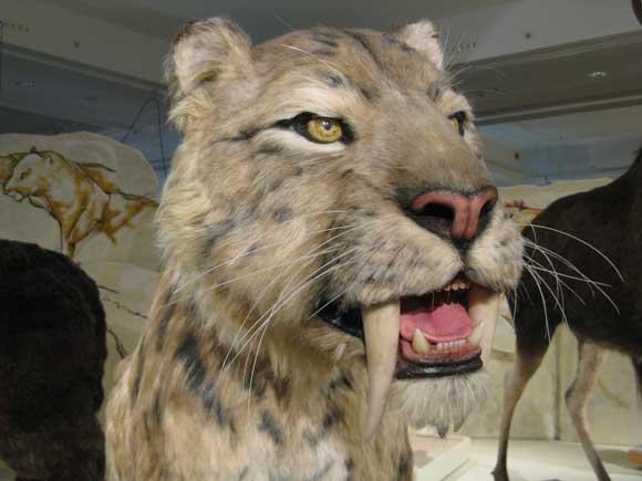 """Képtalálat a következőre: """"kardfogú tigris"""""""